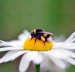 Abelha na flor - Biologar