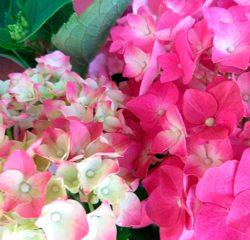 Hortênsias Jardinagem Simples Assim