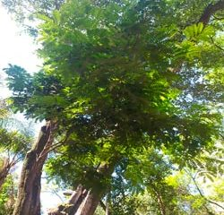 pau-brasil - jardinagem simples
