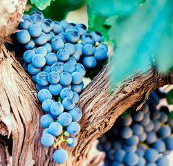 Cacho de uvas - Jardinagem Simples Assim