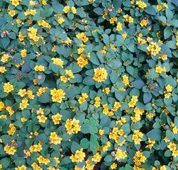 lisimáquia - jardinagem simples assim